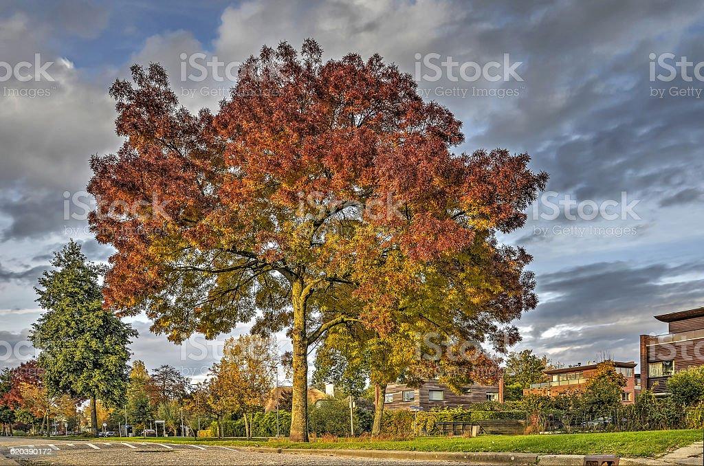 Ash tree in autumn stock photo