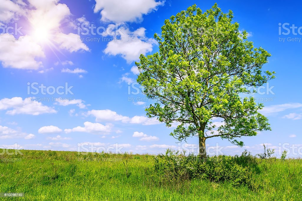 ash tree in summer stock photo