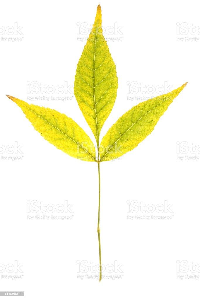 Ash tree isolated stock photo
