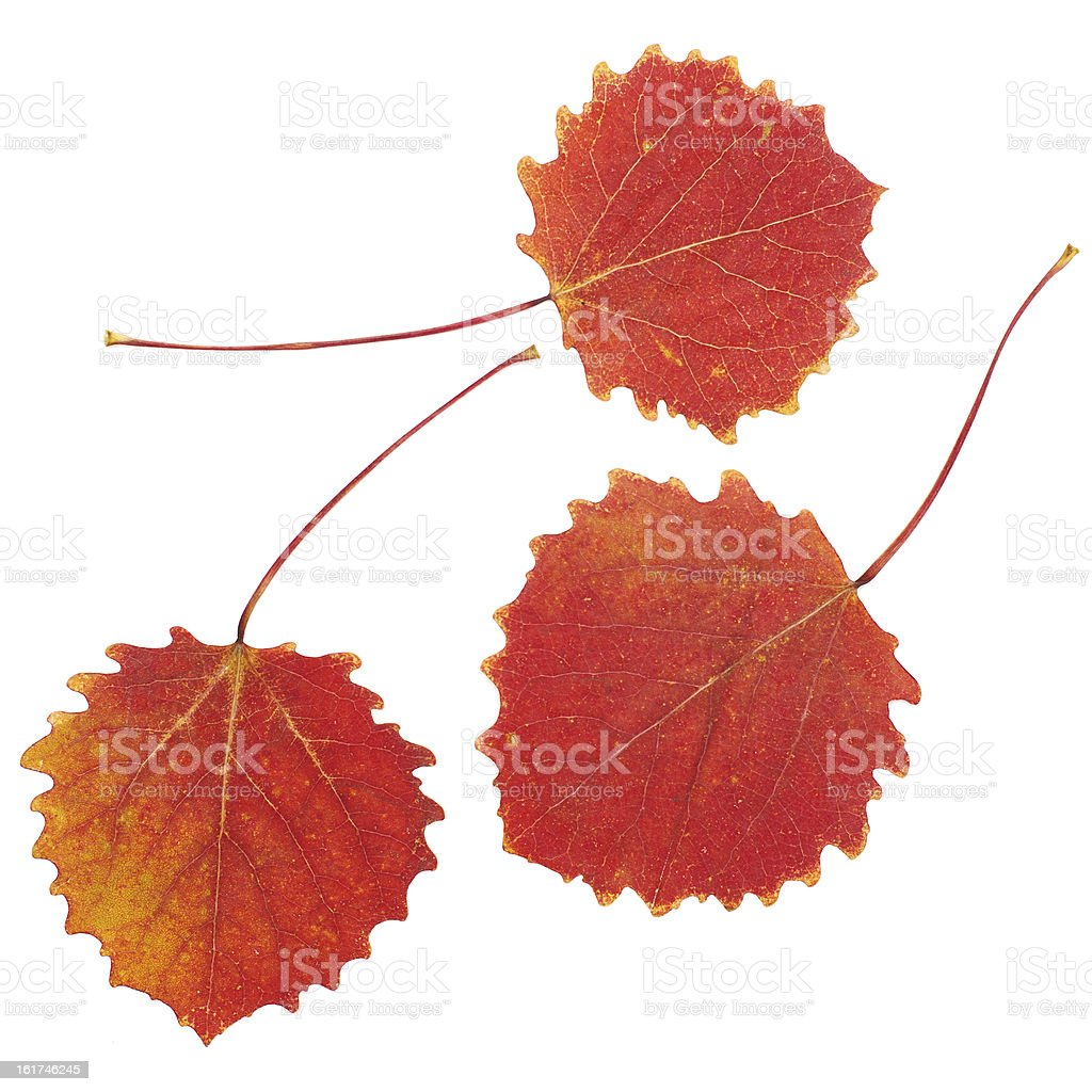 ash tree leaf isolated on the white royalty-free stock photo