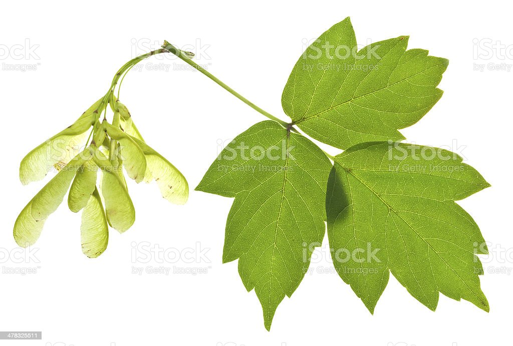 ash tree seeds and green leaves stock photo