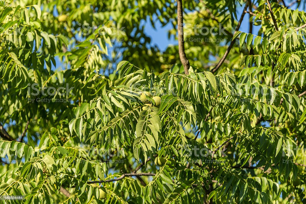 Ash tree with fruits stock photo
