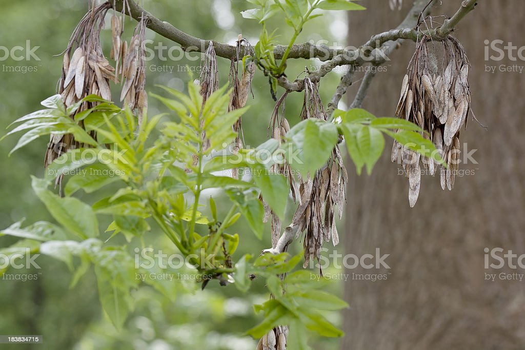 Ash Tree (Fraxinus excelsior) with Nuts (Samara) stock photo