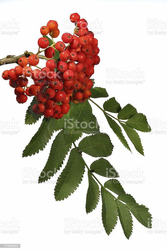 Ashberries stock photo