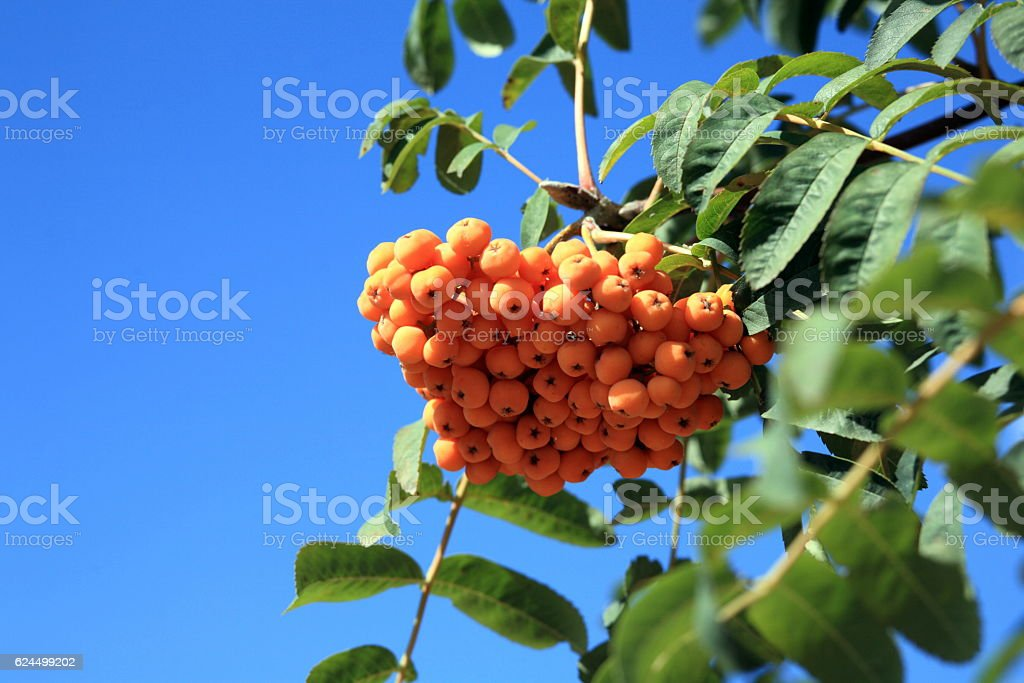 ashberry at dry sunny day stock photo