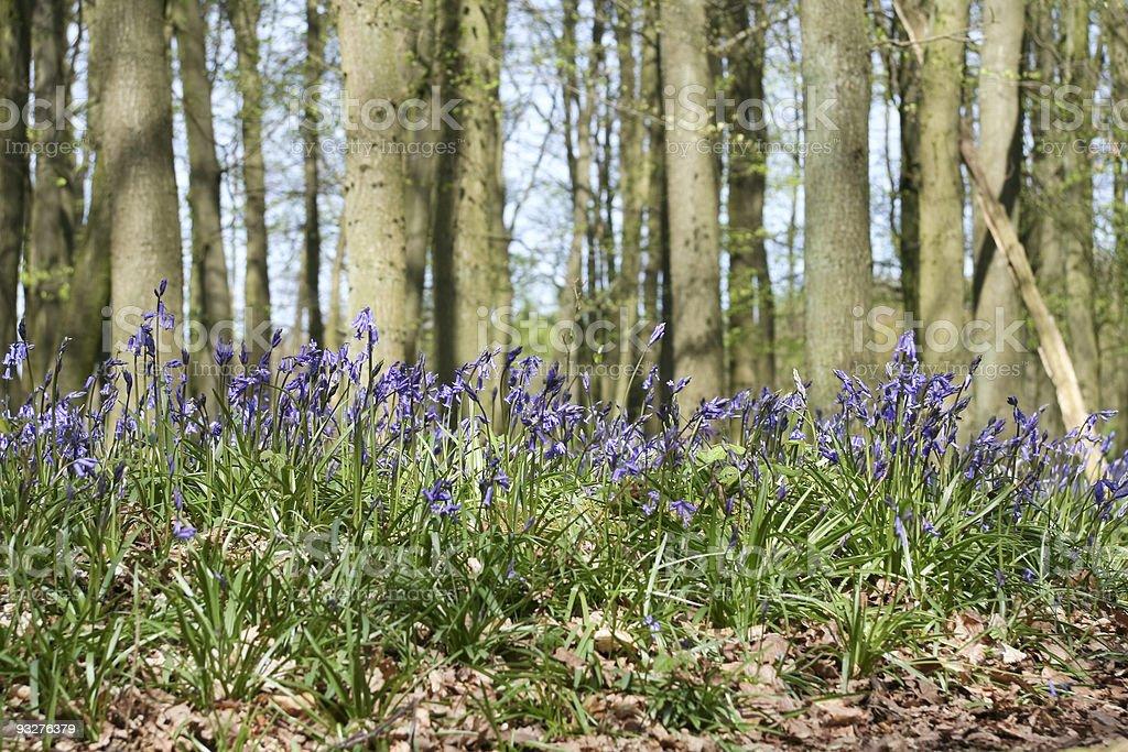 ashridge bluebell woods royalty-free stock photo