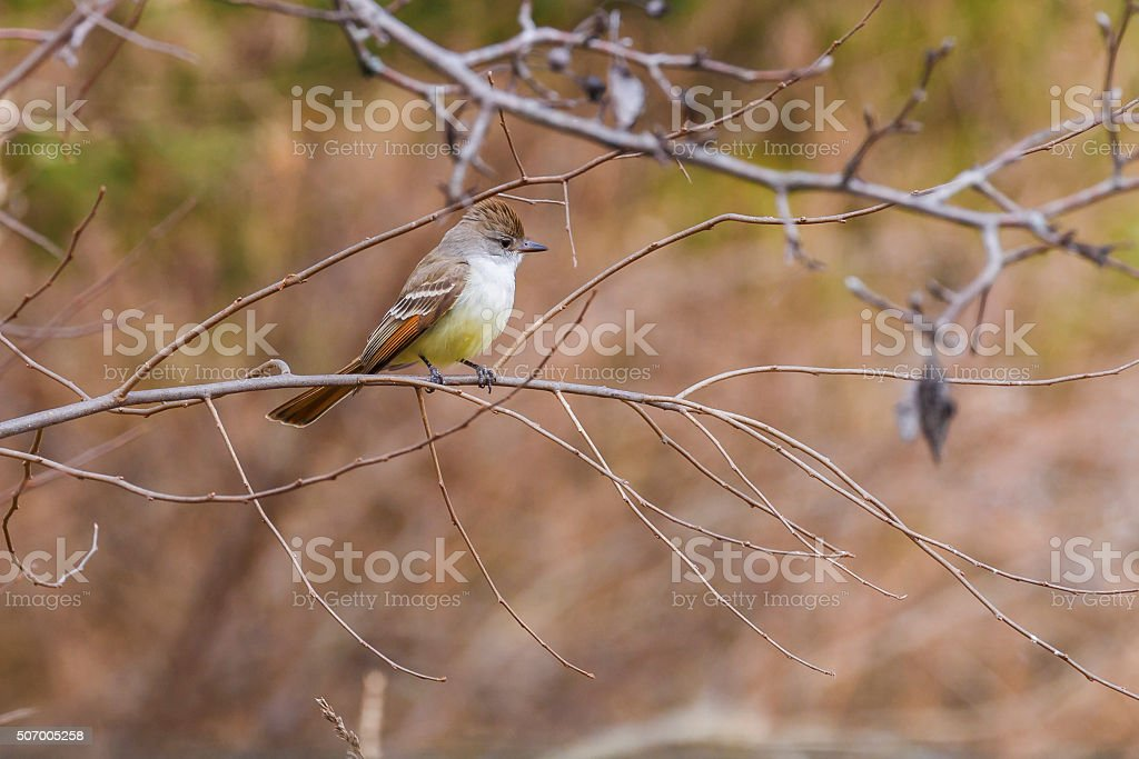 Ash-throated Flycatcher (Myiarchus cinerascens) stock photo