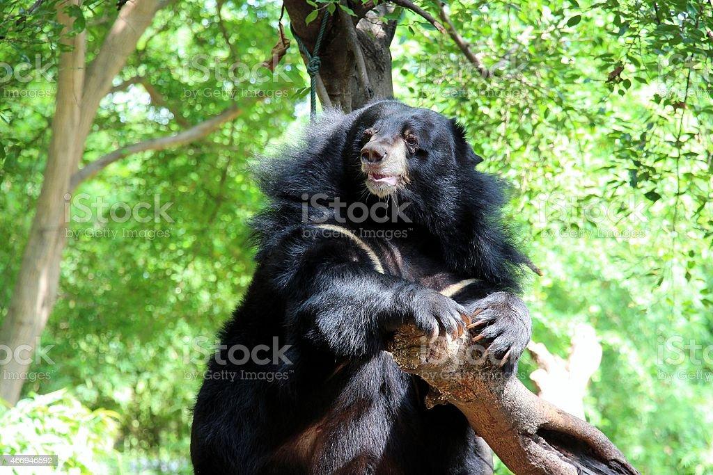 Asie black bear photo libre de droits