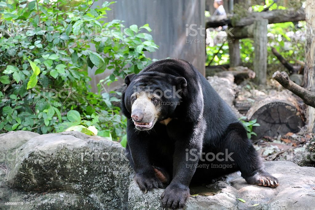 Asie black bear photo libre de droits