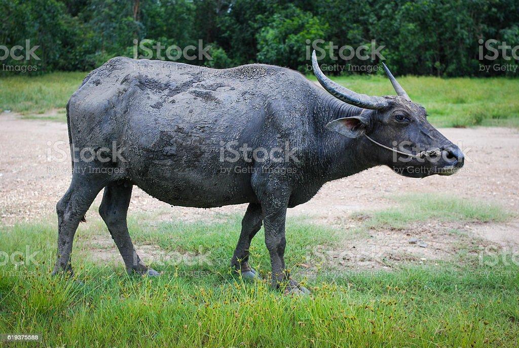 Asia buffalo eat grass on the field stock photo