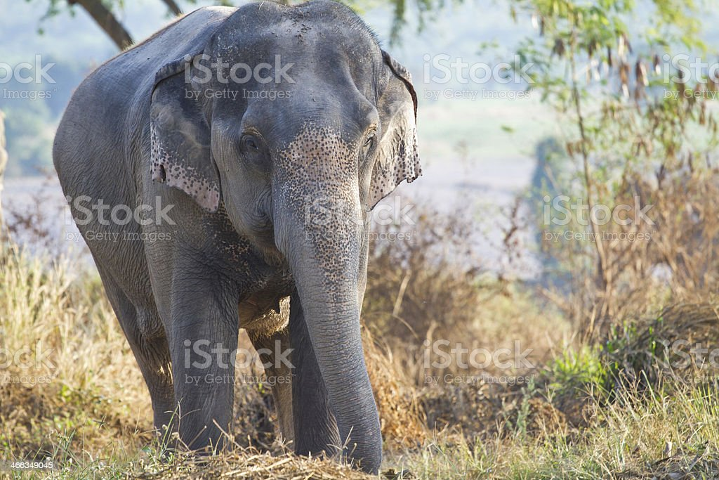 asia elephant royalty-free stock photo