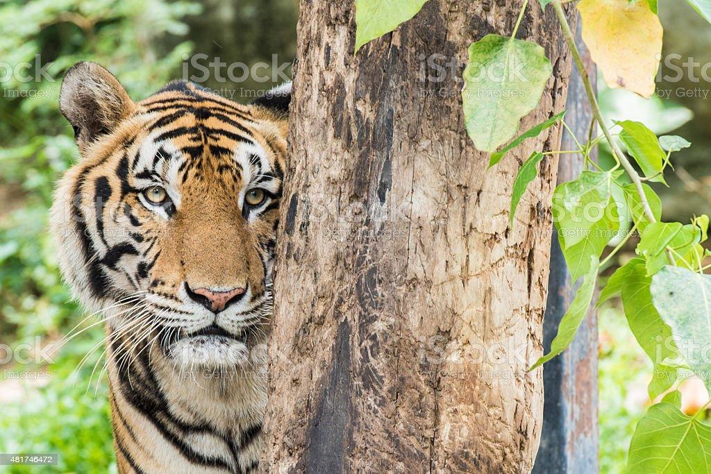 Asia Tiger stock photo