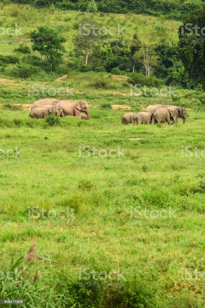 Asia wild elephent at Kui Buri stock photo