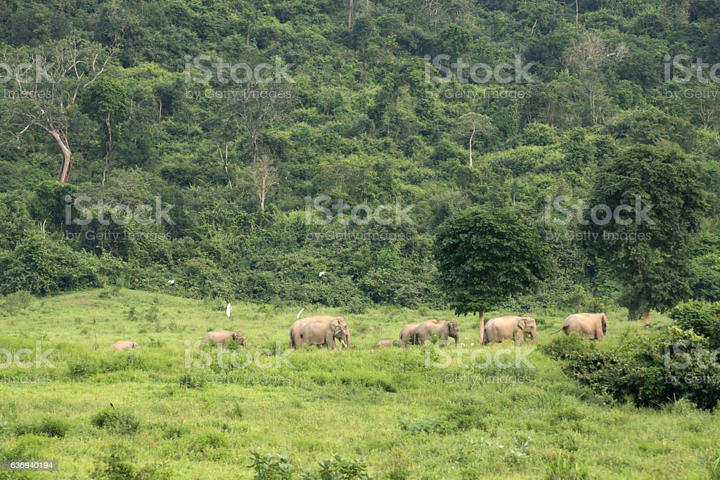 Asia wild elephent stock photo