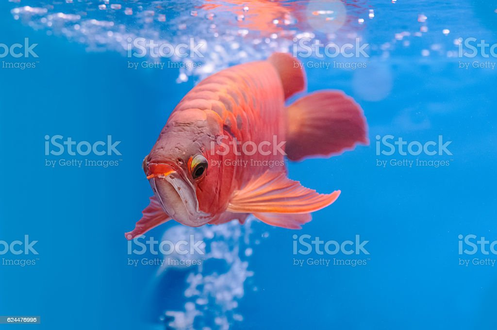 Asian arowana red fish,dragon fish stock photo