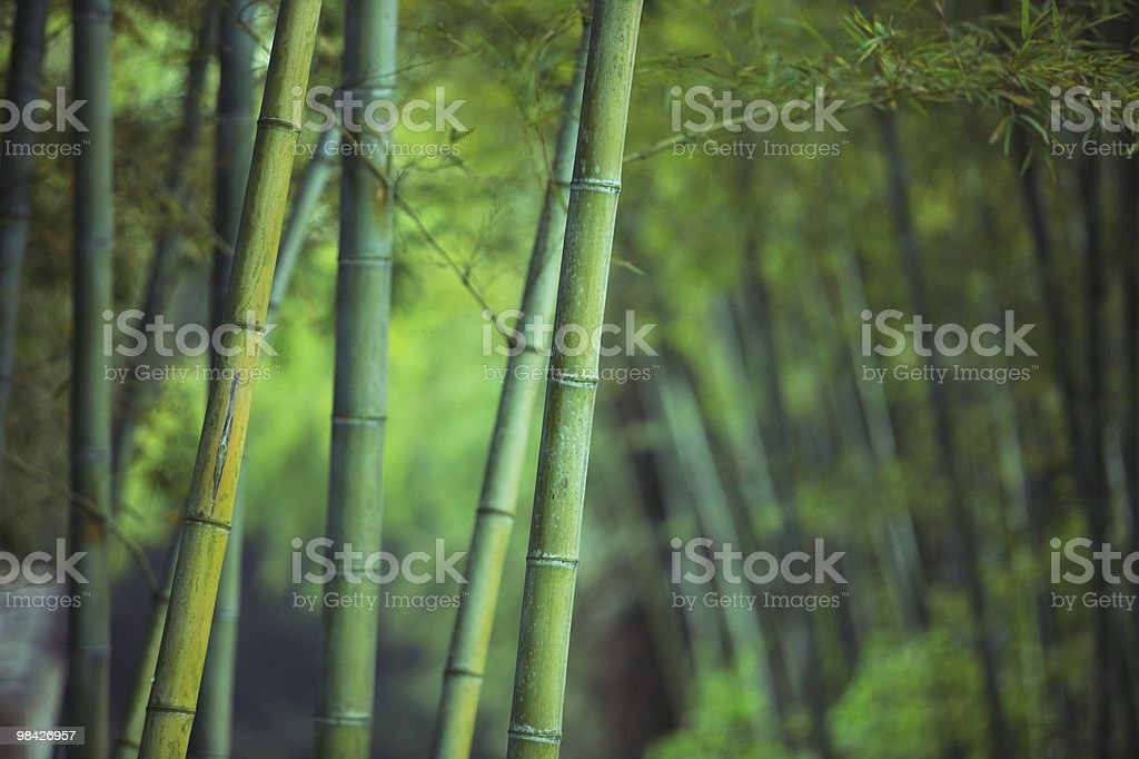 Asian Bamboo forest stock photo