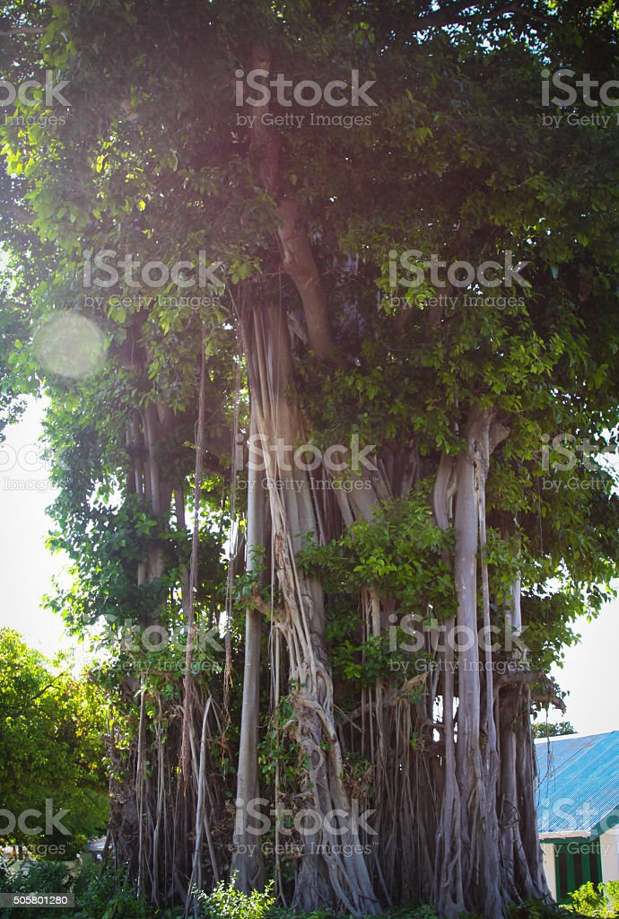 Asian Banyan Tree stock photo