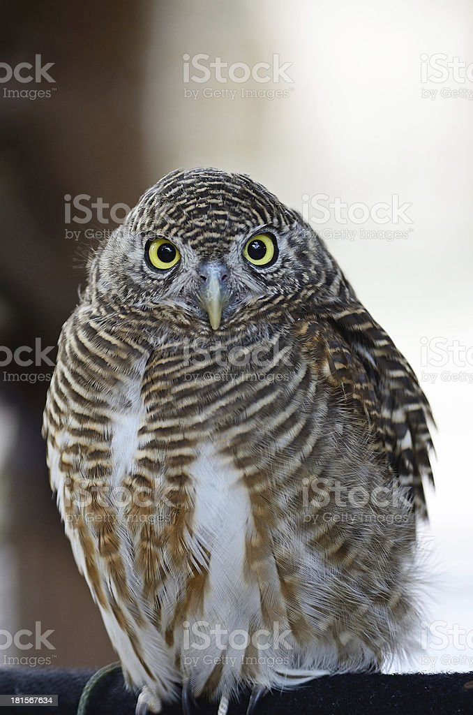 Asian Barred Owlet royalty-free stock photo