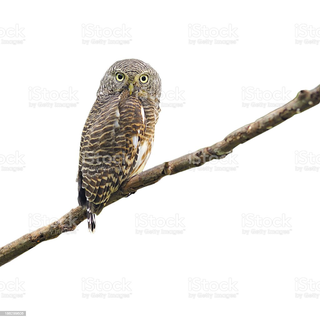 Asian Barred Owlet stock photo