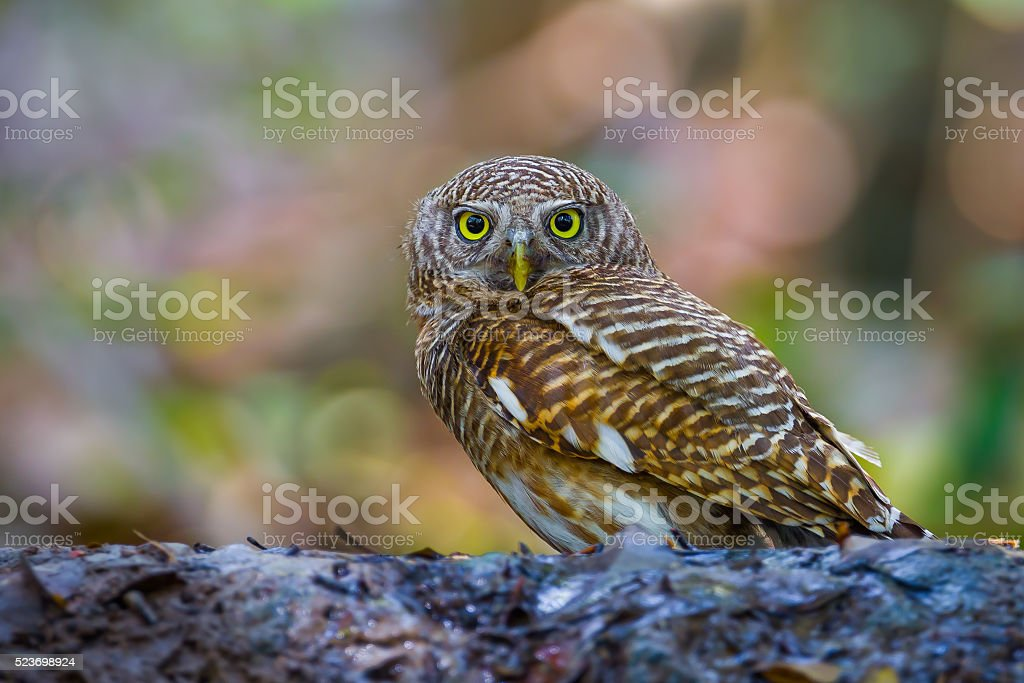 Asian Barred Owlet (Taenioglaux cuculoides) stock photo