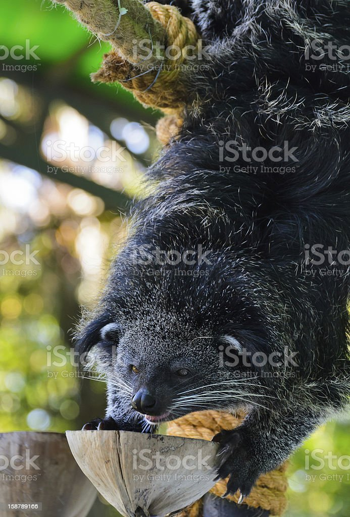 Asian Bearcat - Arctictis Binturong. stock photo