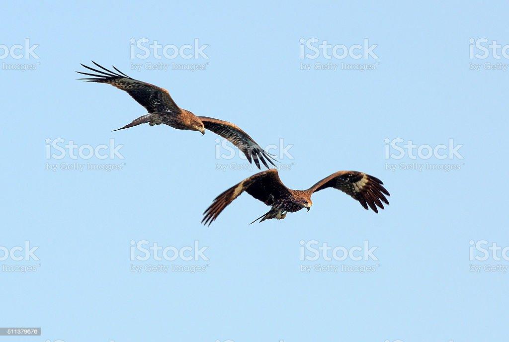 Asian Black Kites in Flight, Hong Kong stock photo