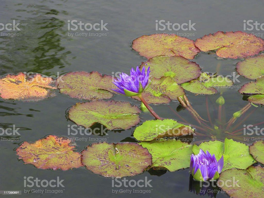 Asian Blooming Lotus royalty-free stock photo