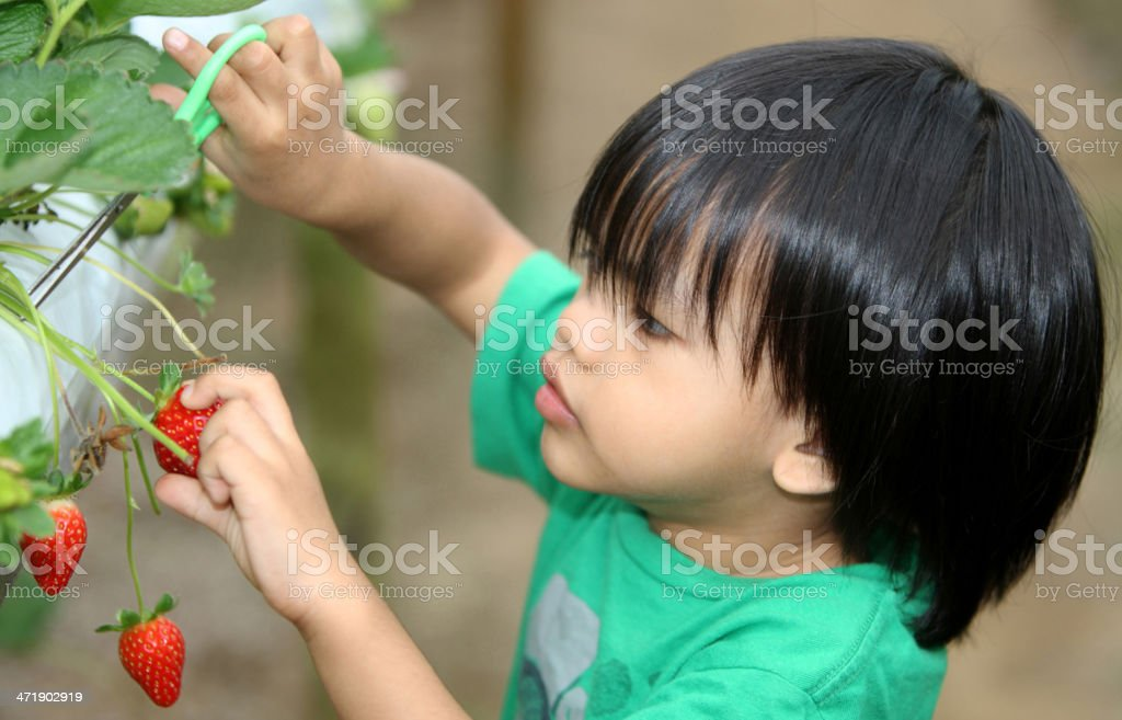 Asian boy picking strawberries on a field stock photo