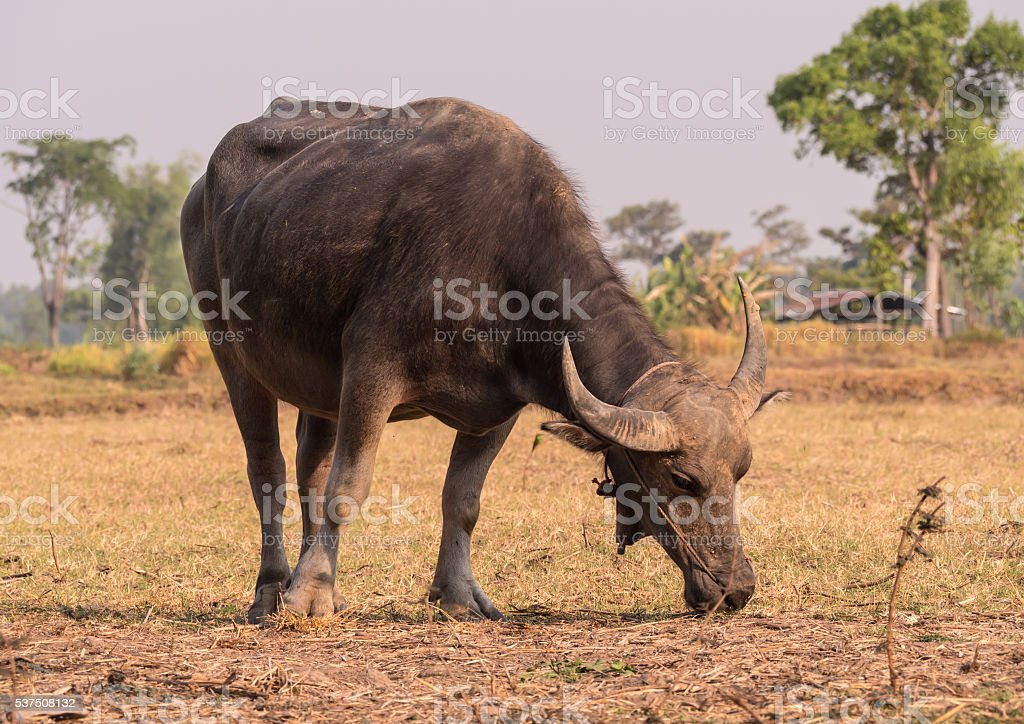 Asian buffaloes eat grass in rice field. stock photo