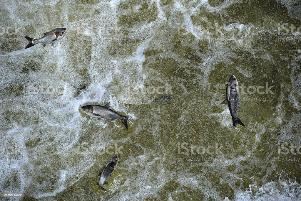 Asian Carp In Tailwaters of Bagnell Dam stock photo
