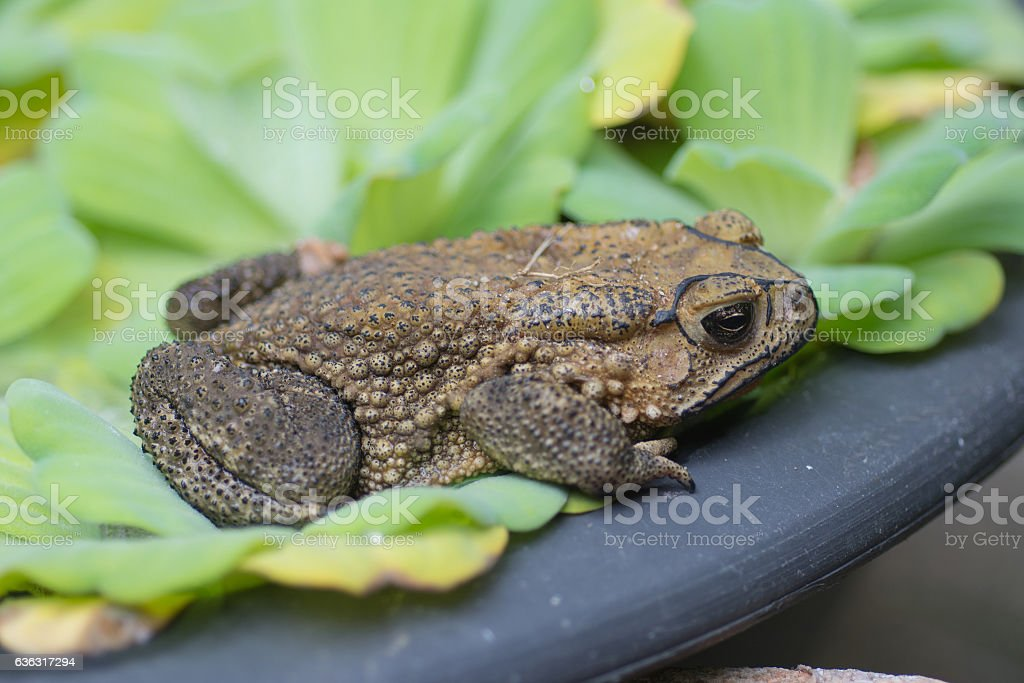 Asian common toad stock photo