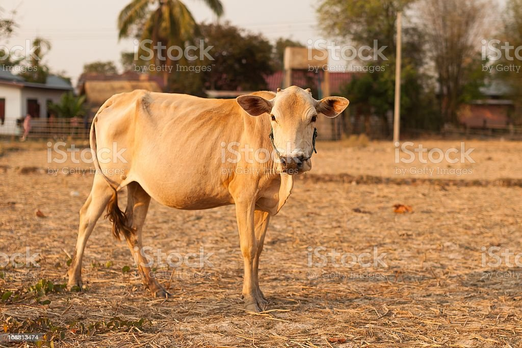 Asian Cow royalty-free stock photo