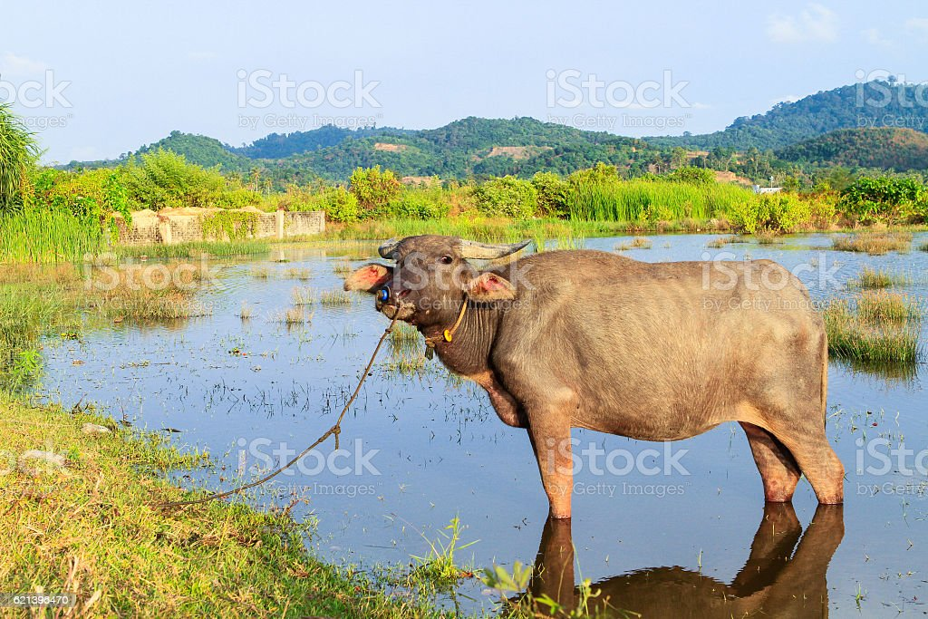 Asian cow stock photo