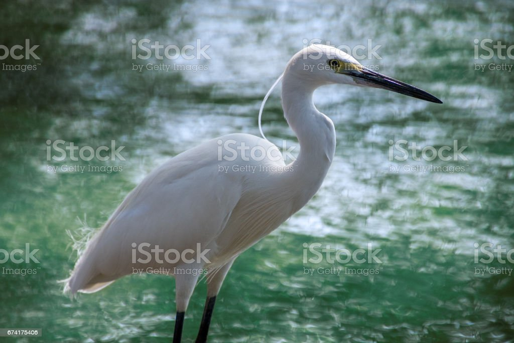 Asian crane in front of water stock photo