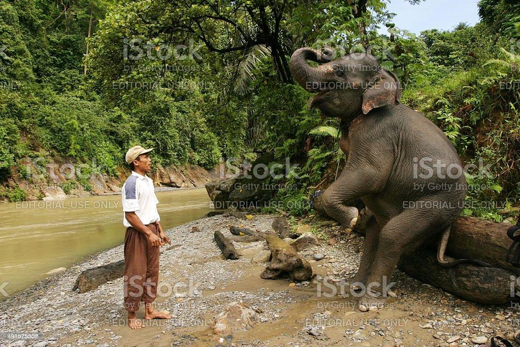 Asian elephant balances on two legs sitting upright on log stock photo