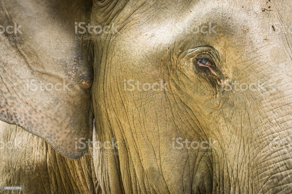 Asian Elephant Face Closeup In Thailand Sanctuary stock photo