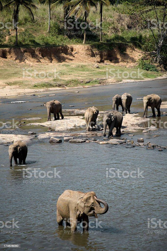 Asian Elephant herd bathing in river stock photo