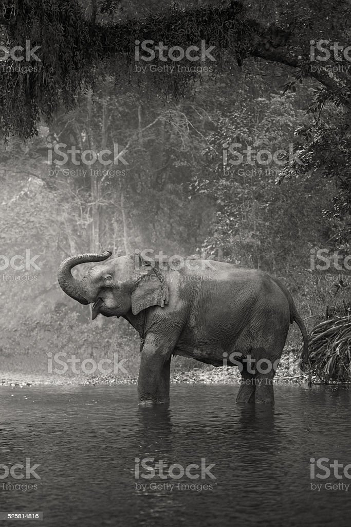 Asian Elephant in a natural river at deep forest, Thailand stock photo