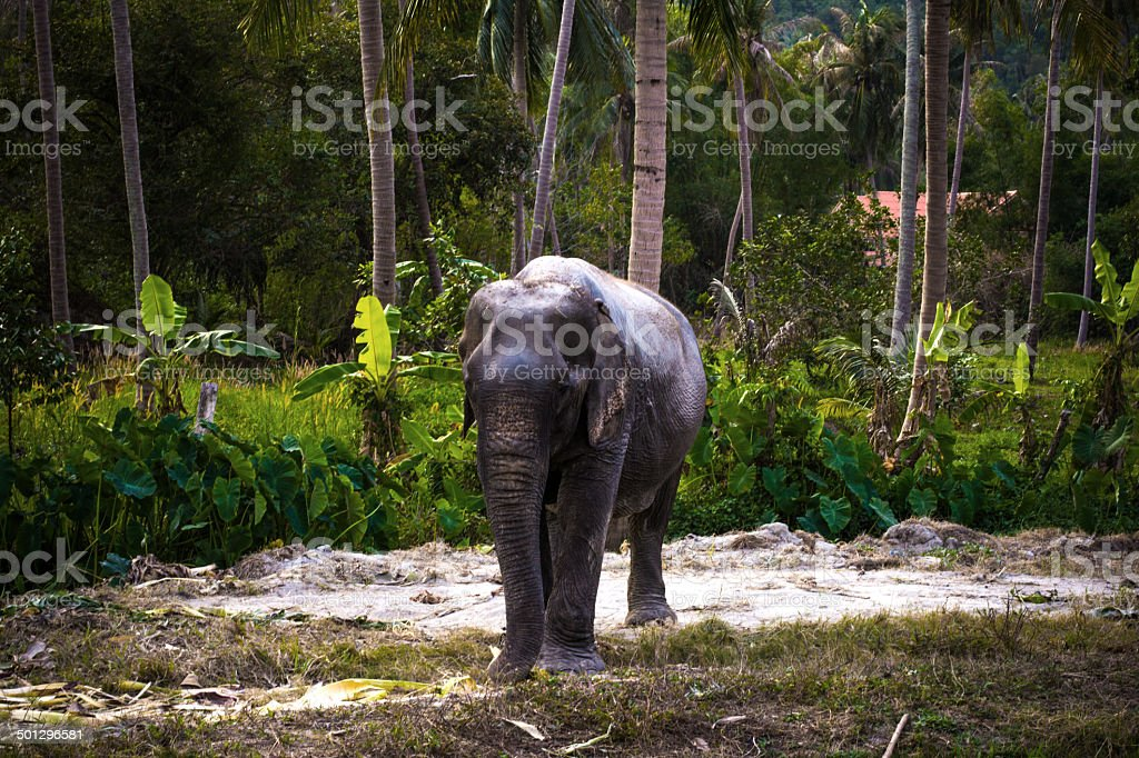 asian elephant in jungle forest. Thailand stock photo
