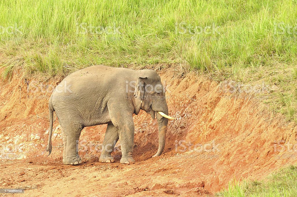Asian Elephant in saltlick at Khao Yai national park, Thailand royalty-free stock photo