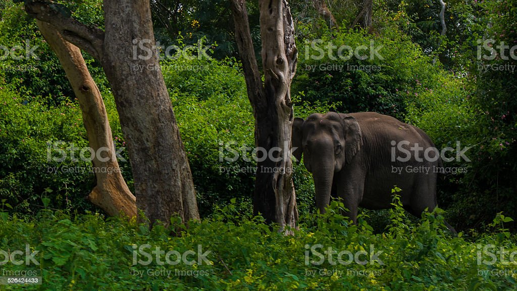 Asian elephant in the wild stock photo