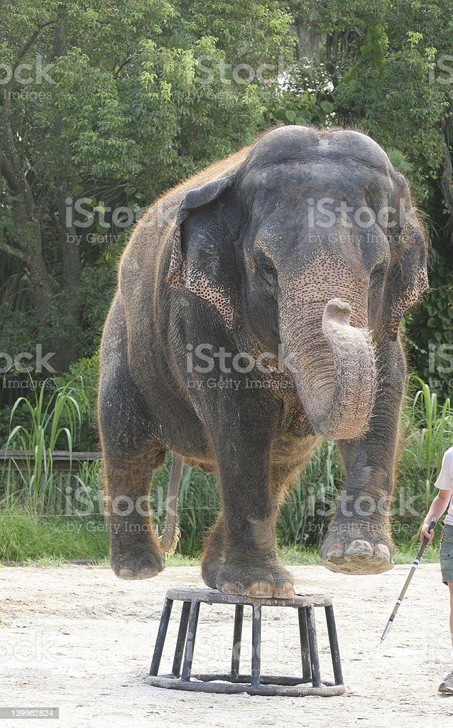 Asian Elephant Performing at Zoo royalty-free stock photo