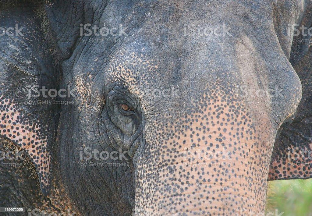 Elefante asiático foto de stock libre de derechos