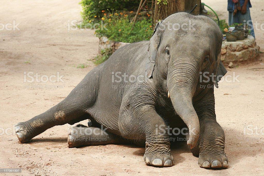 Asian Elephant royalty-free stock photo