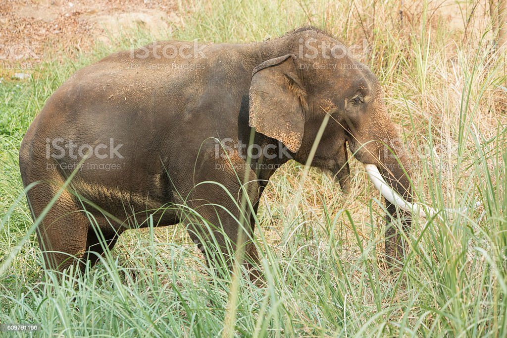 Asian elephant walking and eating grass stock photo