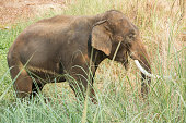 Asian elephant walking and eating grass