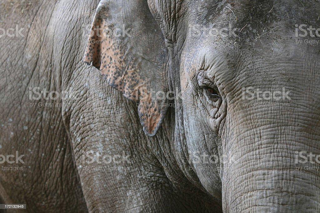 Asian Elephant's eye stock photo