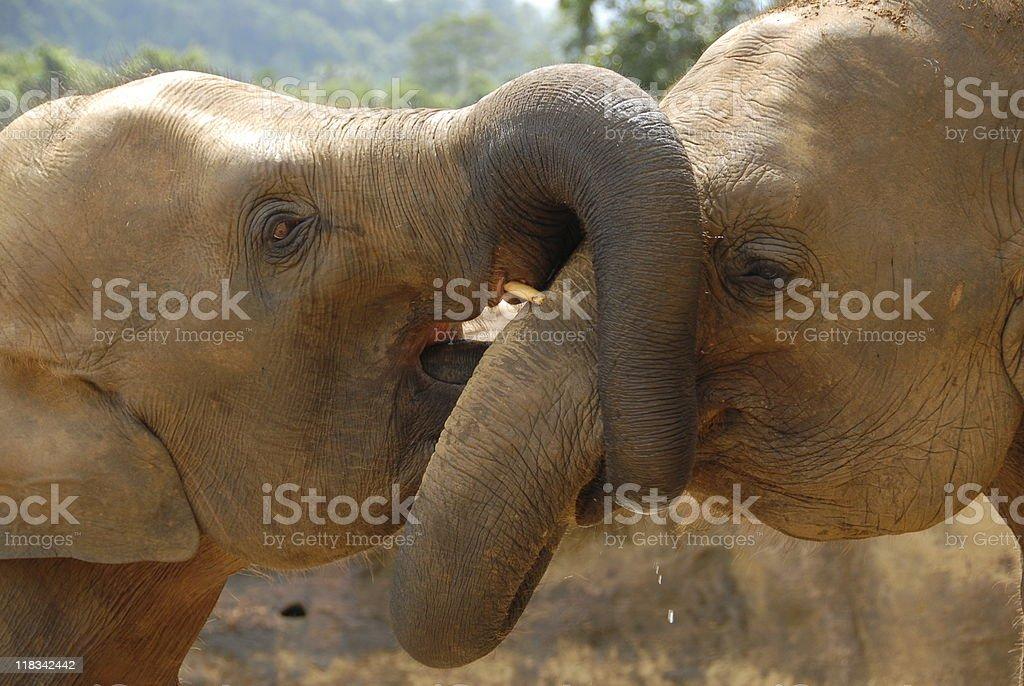 Asian Elephants royalty-free stock photo