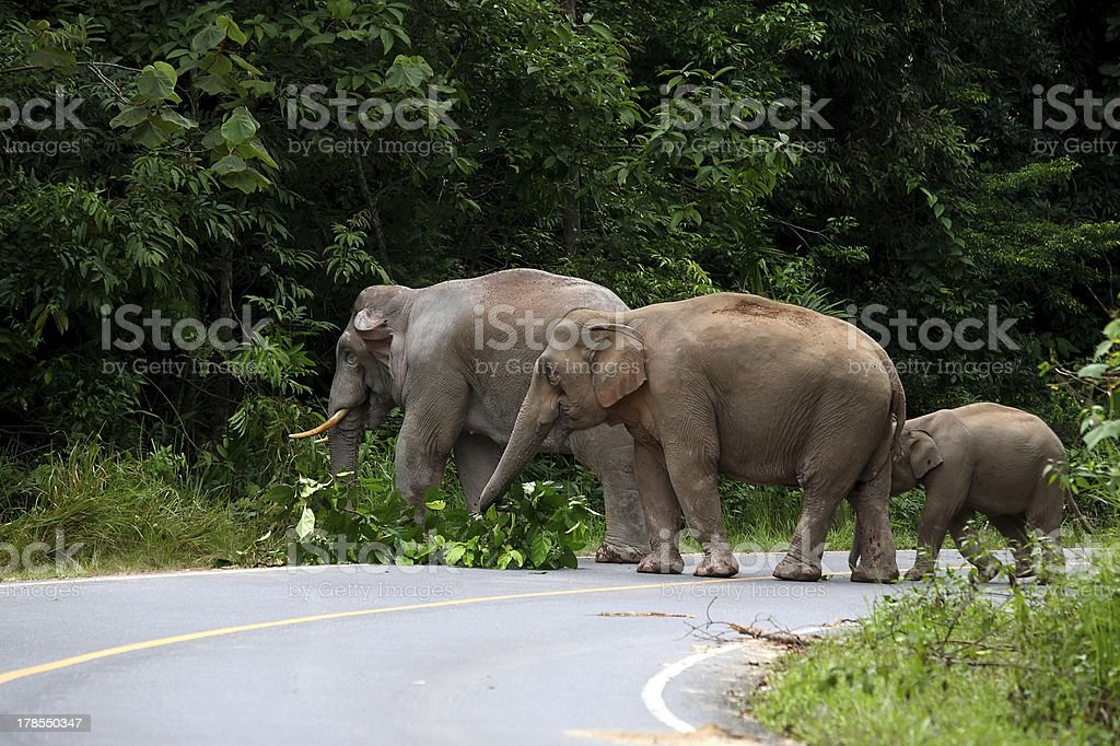 Asian Elephants royalty-free stock photo
