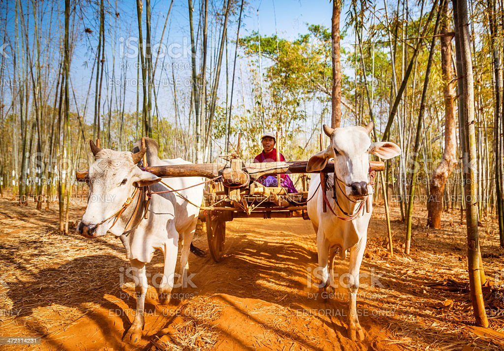 asian farmer riding wooden cart, Myanmar royalty-free stock photo